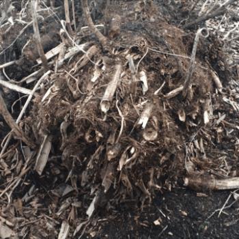 knotweed removal Weston-super-Mare