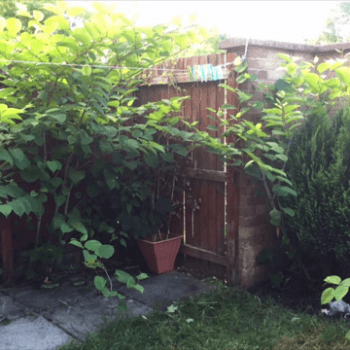 knotweed removal Taunton