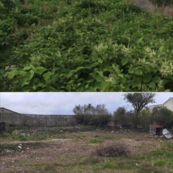 knotweed removal Cheltenham
