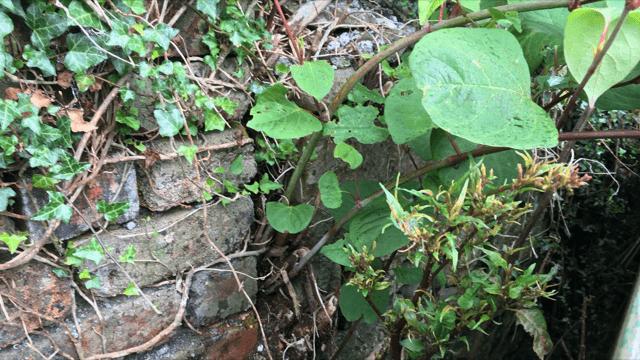 japanese knotweed Weston-super-Mare