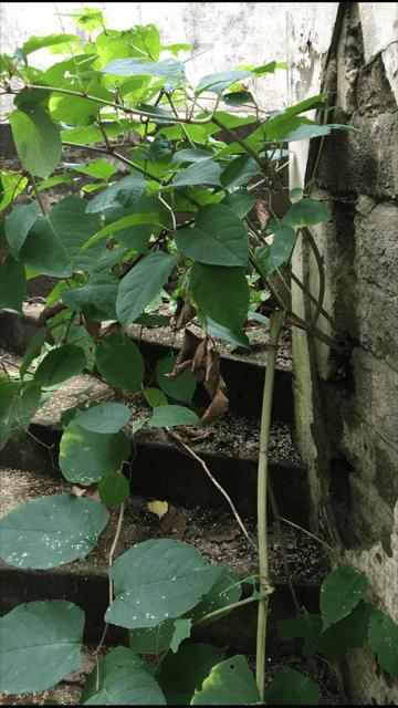 japanese knotweed Bridgwater